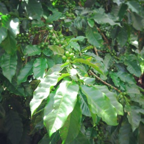 Coffee beans on the 'vine'