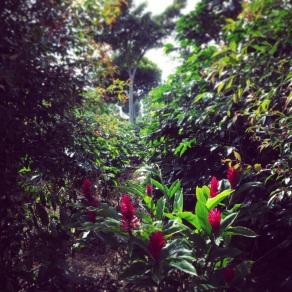 Among the rows of coffee at Doka Estate Coffee Plantation