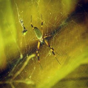 Golden Orb Spider at Rancho Margot