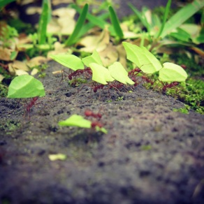 Leaf-Cutter ants at Rancho Margot