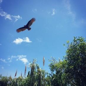 Fly like a vulture