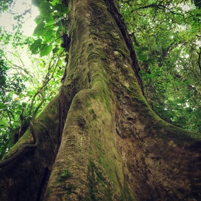 Strangler Fig in Monteverde Cloud Forest