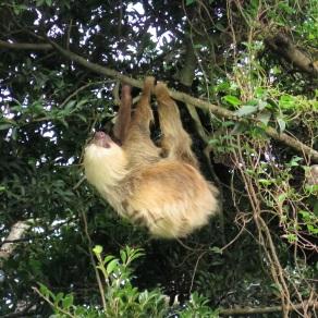 CeCe the sloth