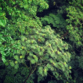 Canopy of the Santa Elena Cloud Forest