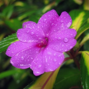 Rain on the flowers of Santa Elena Cloud Forest