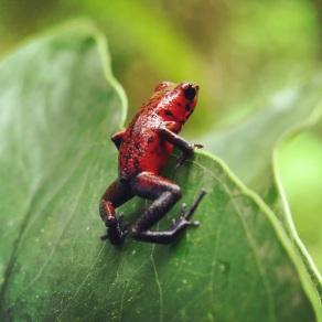 Poisen frog-let havig a peek