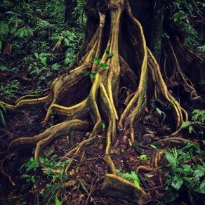 Root system in Tortuguero
