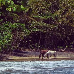 Horses at the Puerto Viejo beach