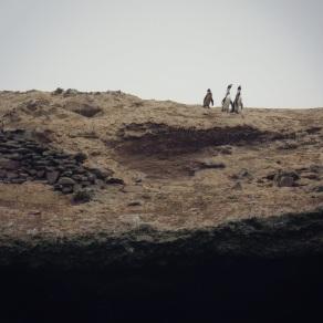 Ballestas Islands - Humboldt Penguins