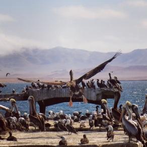 Pelicans on Paracas shore