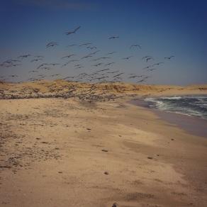 Pelicans take flight ar Paracas Reserve