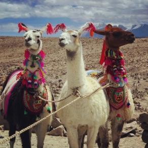 Llamas got swag