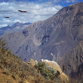 Condors soar over Colca Canyon