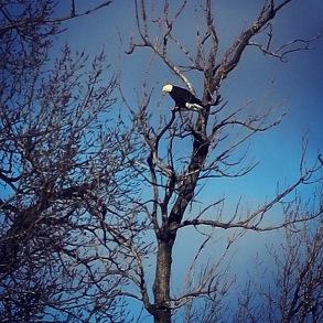 Bald Eagle on Hills of Iowa