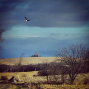 Bald Eagle on Hills of Iowa