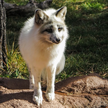 Arctic Fox at Bearizona, Williams, AZ