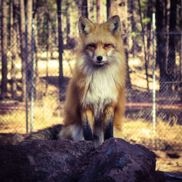 Red Fox at Bearizona, Williams, AZ