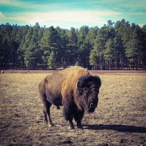 Bison at Bearizona, Williams, AZ